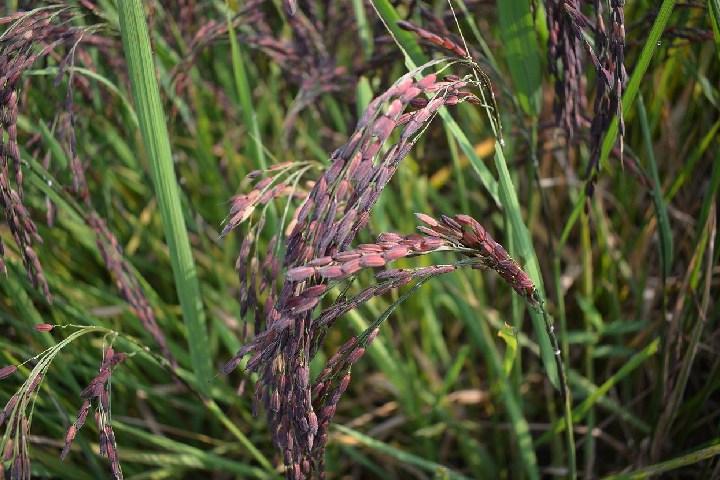 purpul rice cultivetion